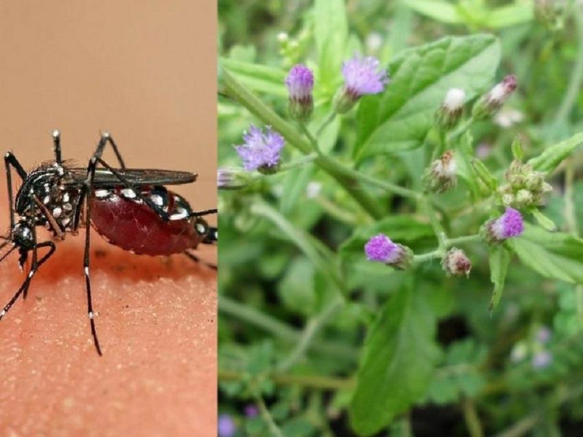 Rumput Tepi Rumah Ini Rupanya Herba Penawar Demam Denggi, Memang Tak Sangka